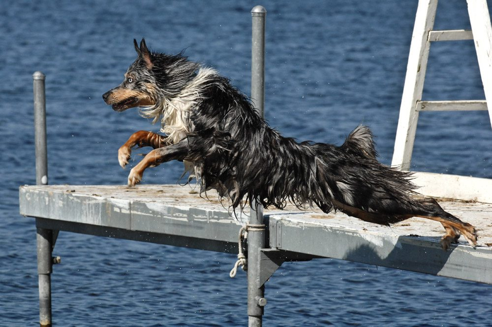 Australian Shepherd Dock Diving