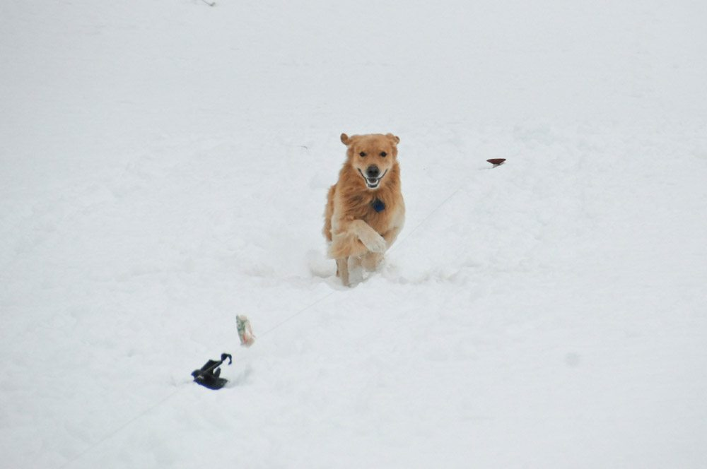 Happy Golden in the Snow