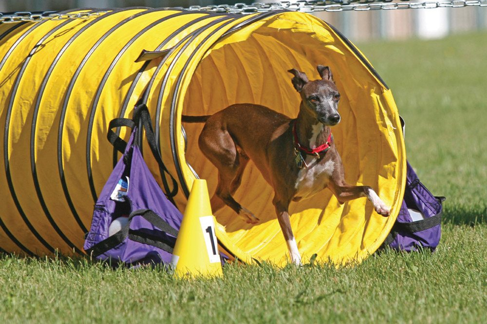 Italian Greyhound Agility Tunnel IMG_5082
