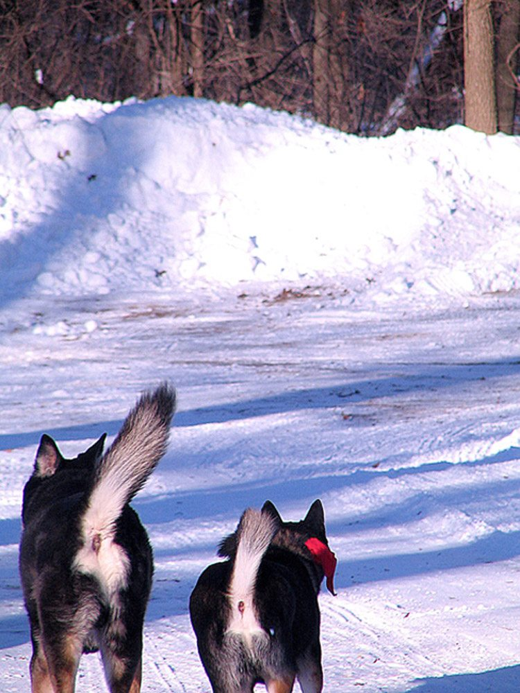 Dogs Tails in the Snow